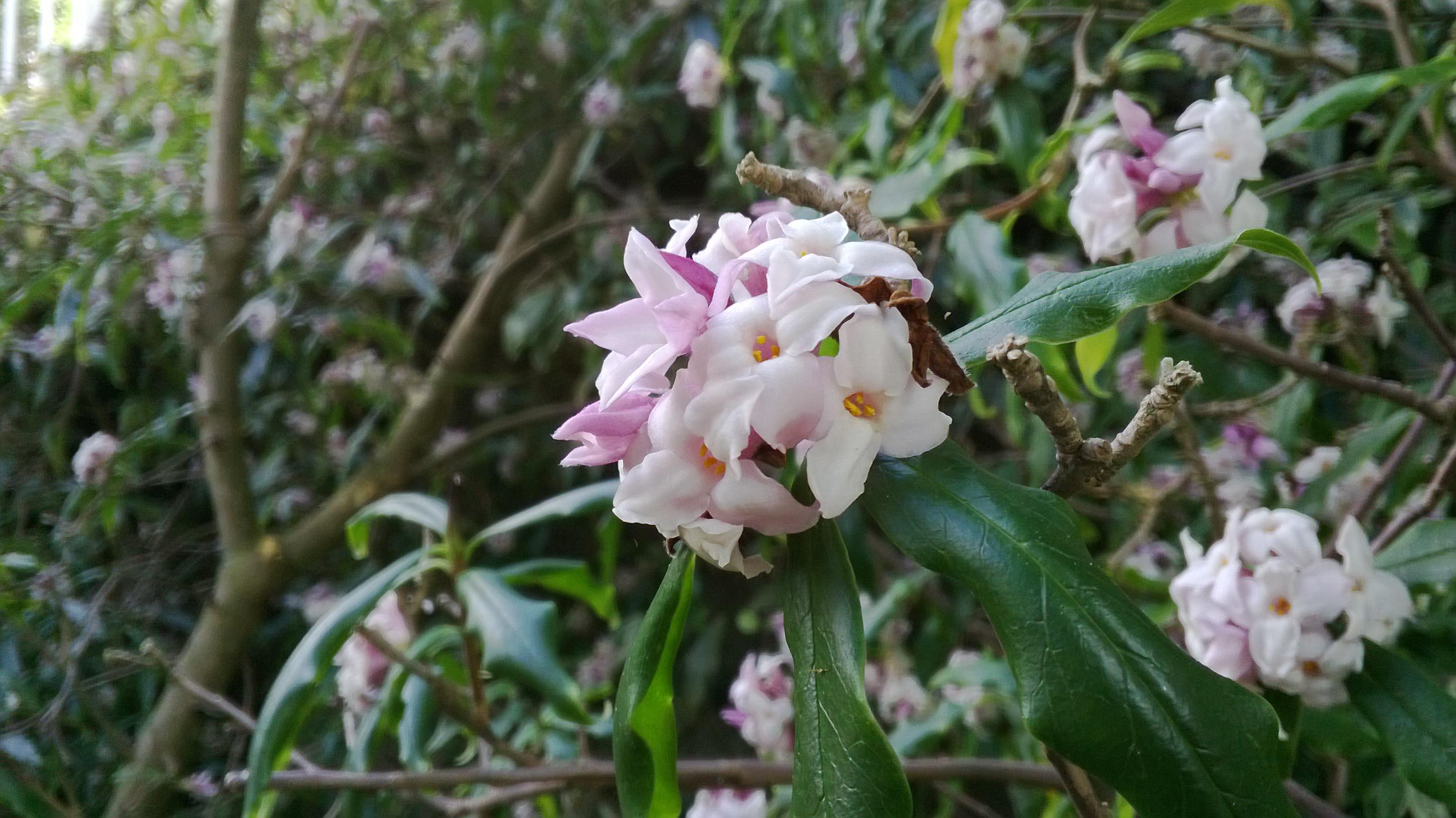 fleur de Lokta