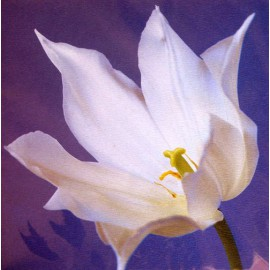 Carte postale fleurs tulipe blanche
