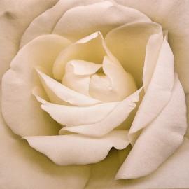 Carte postale fleurs Harold feinsteinwhite iceberg rose blanche