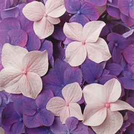 Carte postale fleurs Deborah Schenck hortensia