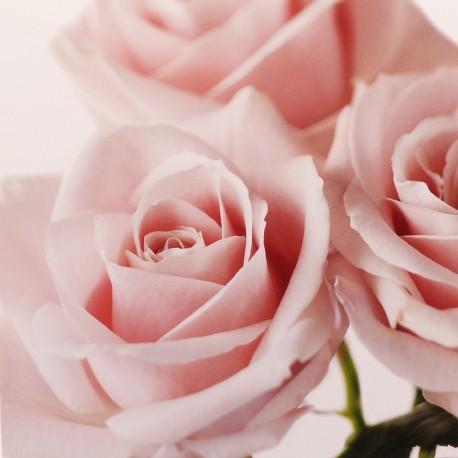 Carte postale fleurs rose rose